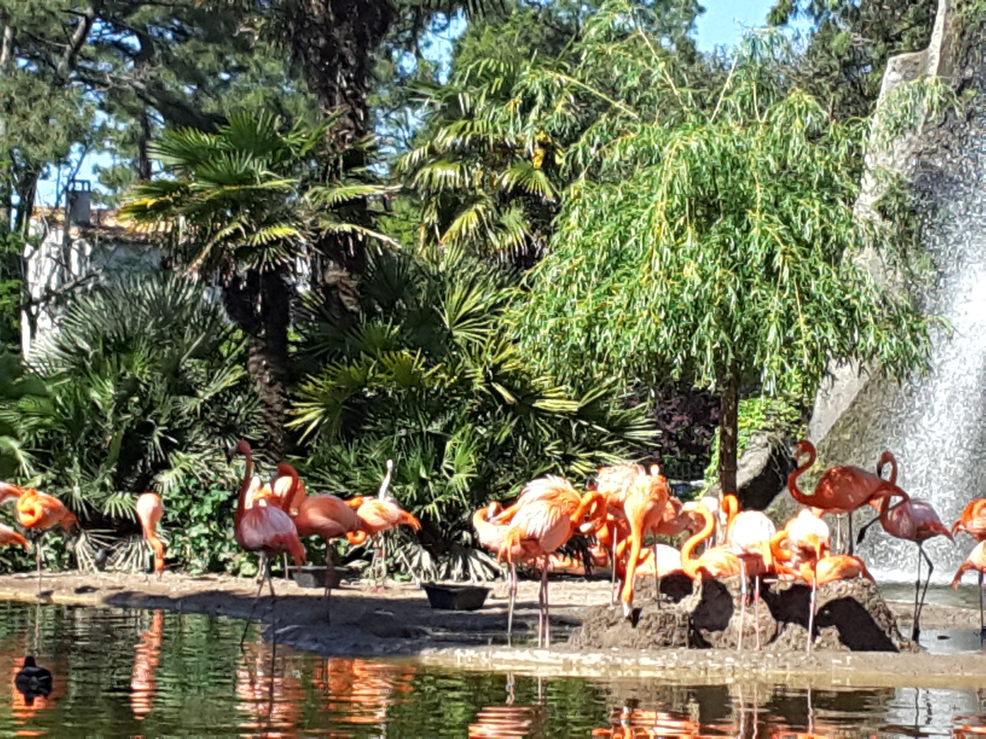 flamand rose la palmyre 2